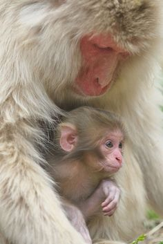 Mother and Baby (by Masashi Mochida) Rare Animals, Cute Baby Animals, Strange Animals, Beautiful Creatures, Animals Beautiful, Monkey World, Pet Rats, Tier Fotos, Cute Animal Pictures