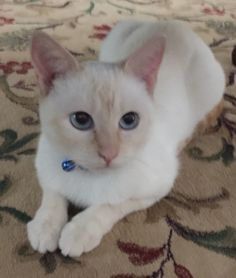 Ginger, my sweet blue-eyed Flame-Point Siamese cat!
