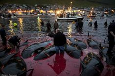 Red with blood: Dead pilot whales float in the shallow water as a crowd of onlookers watches the rest of pod being brought in on Faroe Islan...