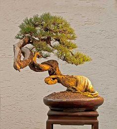 Bonsai… Mugo pine #33