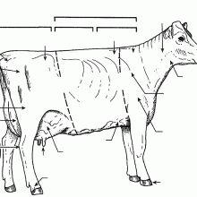 a diagram of the cow digestive system