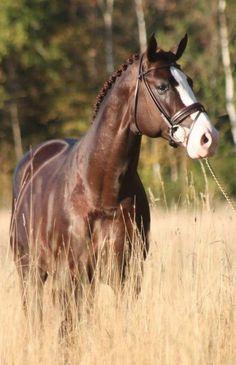 hunter jumper dressage horse                                                                                                                                                                                 More