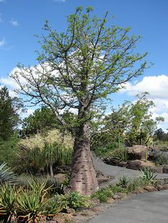 Grandidier's Baobab by Tatters ❀, via Flickr Adansonia grandidieri  One of the six species of baobabs endemic to Madagascar.
