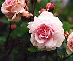 Cecil Bruner best rose varieties for the Pacific Northwest.  And oldie but a goodie.  One main bloom in the spring.