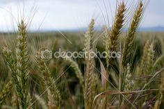 Unripe wheat classes at field closeup