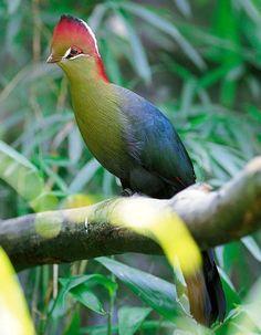 Turaco Fisher. Aves exóticas propias de África. Especies poco conocidas