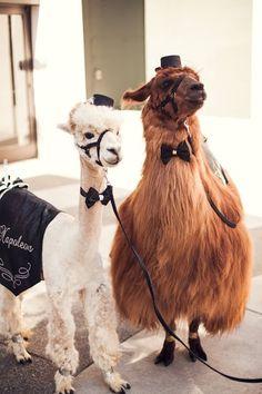 "Wedding Llama and Alpaca- ""Napoleon & Rojo"" (Brandon Witzel Photography)"