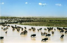 The wildebeest are t