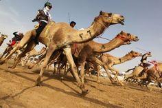 Camel racing - UAE