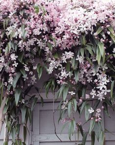 Clematis Apple Blossom online bestellen – Famous Last Words Beautiful Gardens, Beautiful Flowers, Clematis Armandii, Garden Cottage, Plantation, Dream Garden, Garden Planning, Garden Projects, Garden Inspiration