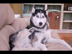 Mishka the Talking Husky is Lost In Central Park! - YouTube