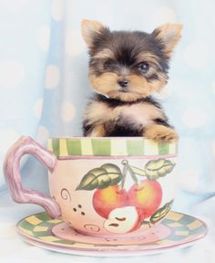 Yorkie Puppy in a teacup <3