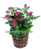 Send pink rose plant to Philippines, deliver pink mini roses to Philippines, order mini roses plants to manila Send Flowers, Cut Flowers, Fresh Flowers, Rose Trees, Same Day Flower Delivery, Planting Roses, Mini Roses, Miniature Plants, Rose Bush