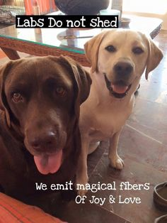 Labs don't shed... LOL
