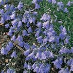 HAREBELL - Campanula rotundifolia (Seed - Packet 300mg.)Delicate. Graceful. Enchanting. Bell-shaped flowers dance in the summer breeze. Makes a fine addition to any garden. The extremely small seeds germinate easily. Blooms July - Sept. SUN/PARTIAL SHADE
