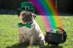 The luck of the Irish pug.