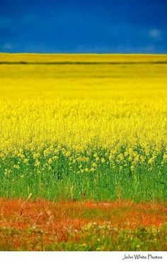 Canola Field of yellow: canola crops. One of my Favorite memorable place. Beautiful World, Beautiful Places, Beautiful Pictures, Canola Field, Image Nature, Felder, South Australia, Mellow Yellow, Amazing Nature