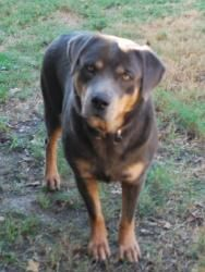 BOBBI BLUE: Adoptable Female Blue Rottweiler, Dog; College Station, TX