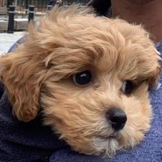 """Buddy on Instagram: """"Out & about...soon I will be allowed on the pavements & parks to play!! 🐶❤️🐶 #maltipoo #puppy #maltipoopuppy #dogsofinstagram #puppies…"""" Maltipoo, Pavement, Parks, Puppies, Play, Dogs, Instagram, Floor, Puppys"""