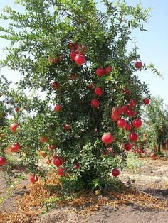 sweet pomegranite tree 450px-Pommegranate_tree01.jpg (400×533)