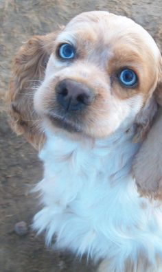Blue eyed cocker spaniel | Image is copyright free from Wikimedia Commons