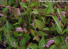 Tufted Knotweed: Polygonum caespitosum var.longisetum (similar weeds: Pennsylvania Smartweed & Ladysthumb)