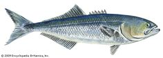 bluefish | fish | Britannica.com
