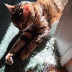 A certain someone definitely needs their nails cut! #thecarpetlostthisbattle  #crazykitty #claws #disaster #destruction #badkitty #ladybrennaoffairfax #cat #cats #catsofinstagram #catstagram #catsofworld #kitty #katzenworldblog #cats_of_instagram #catlover #bengal #bengalcat #bengalsofinstagram #bengal_cats #faithhopeloveandlucksurvivedespiteawhiskeredaccomplice #vais4bloggers #uvafoodie #foodblog  #foodblogger #virginia