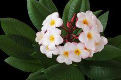 Plumeria Flowers !!