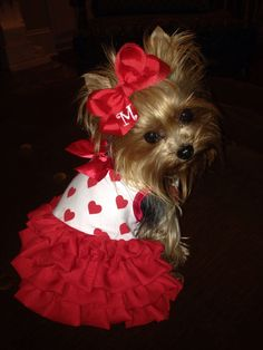 Yorkie s love to be dressed up and she is looking splendid!
