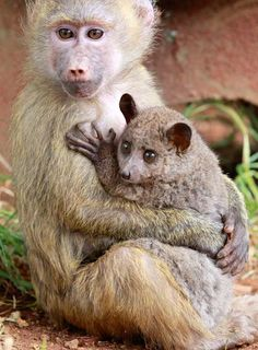 A seven-month-old yellow baboon,  rescued in Maralal (northern Kenya) has adopted the Galagos, also known as a bushbaby. (Photo: Reuters)