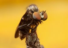 Robber fly | by Asher Lwin Insects, Animals, Animales, Animaux, Animal, Bugs, Animais