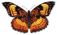 mean butterfly - Google Search