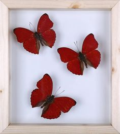 Three Love Butterflies , African Cymothoe sangaris Taxidermy mounted in glass frame by www.BugsDirect.com