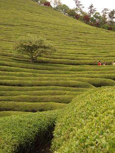 Boseong Green tea, Korea