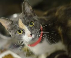 PINKY (A23419957) I'm Pinky, a small, 1 yr old female. My previous owners couldn't afford to keep me, but said I'm a friendly, sociable cat with beautiful manners. I use my litter box and love to be with people. I've lived with small children and I'm so calm and easygoing located at Philadelphia's animal control shelter. Needs immediate adoption, rescue or foster care. To check the status of an animal, call 267-385-3800, or email lifesaving@acctphilly.org