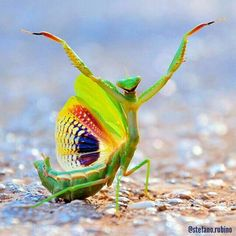 PetsLady's Pick: Totally Amazing Praying Mantis Of The Day . The FUN site for Animal Lovers Nature Animals, Animals And Pets, Baby Animals, Funny Animals, Cute Animals, Wild Animals, Beautiful Bugs, Beautiful Butterflies, Amazing Nature