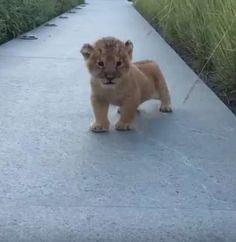 A veces, en la selva, uno tiene que demostrar quién es el jefe. ¿Y qué mejor manera que con un todopoderoso... Miau? #rugissement #león #cachorrodeleon #animales #adorable #bebe #miau http://www.pandabuzz.com/es/video-emocion-del-dia/cachorro-león-rugido-baby