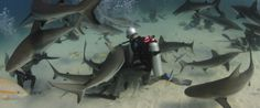 diving with sharks - Google Search