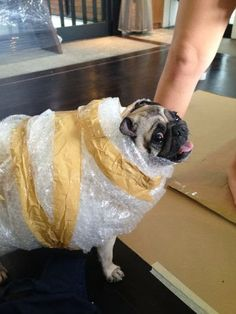 This pug who's protecting himself from the elements: | 30 Dogs You Wish You Knew In Real Life