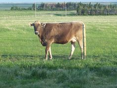 home dairy family milk cow