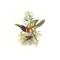 Buyenlarge 'Red Necked or Double Collared Aracari' by John Gould Graphic Art