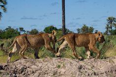 Xigera's adorable cubs #lions #safari #Botswana