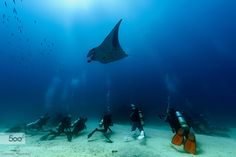 Manta Watching by thomasconrad #Underwater #fadighanemmd