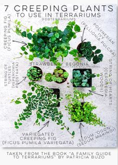 Build your own terrarium using these plants! Creeping Ficus, Strawberry Begonia, String of Turtles, etc. Best Terrarium Plants, How To Make Terrariums, Garden Terrarium, Moss Terrarium, Garden Plants, Indoor Plants, Orchid Terrarium, Hanging Plants, Household Plants