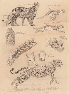 Mauricio Antón's illustration shows aspects of the anatomy of the cheetah, with special attention to the lumbar vertebrae. Included is a body size comparison between the modern cheetah and the extinct species Acinonyx pardinensis. Cat Anatomy, Animal Anatomy, Animal Sketches, Animal Drawings, Horse Drawings, Cat Drawing, Drawing Sketches, Cheetah Drawing, Scientific Drawing