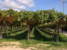Allegrini #wineroads, pergola trained vines at Villa della Torre, Valpolicella, Veneto http://selectitaly.com/browse/packages/package/id:80/wine-roads-of-italy-the-allegrini-experience/extref:allegrini