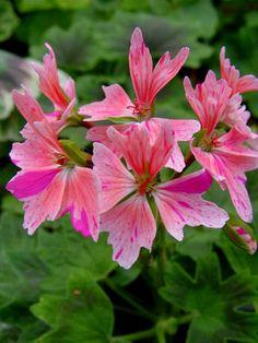 Geranium 'Sophie Caws' Pelargonium