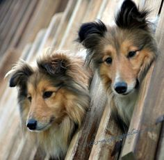 Shelties; they are indeed as cute as they look! The one on the left is a lot like my Laddie. :)