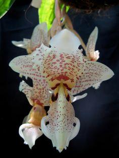 Orquídea Stanhopea Oculata - Modo de Cultivo